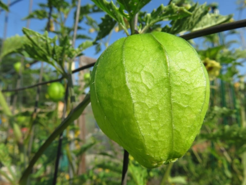 when to harvest tomatillos