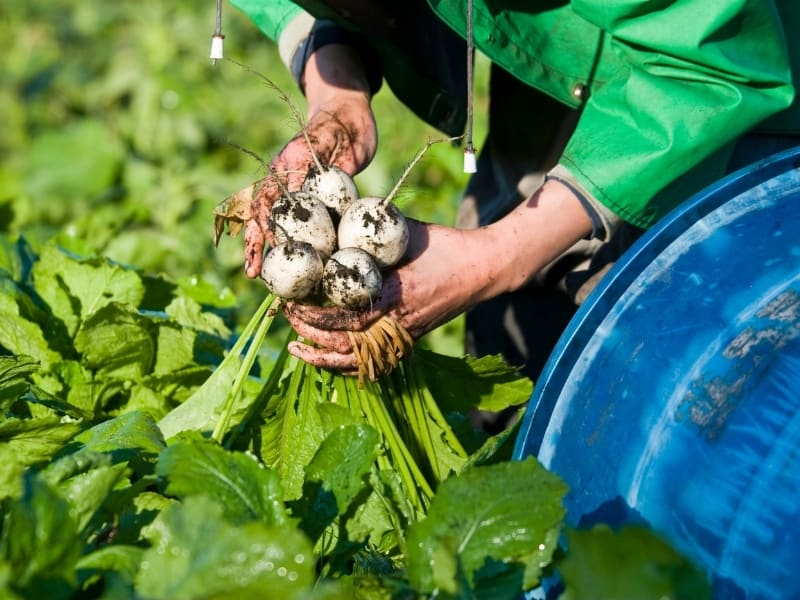 when to harvest turnips