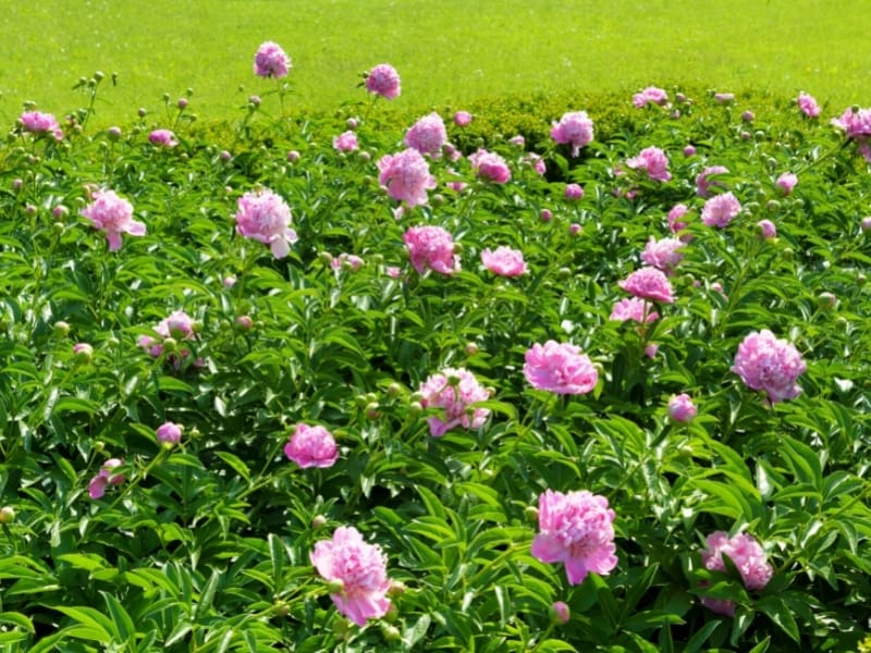 where to plant peonies