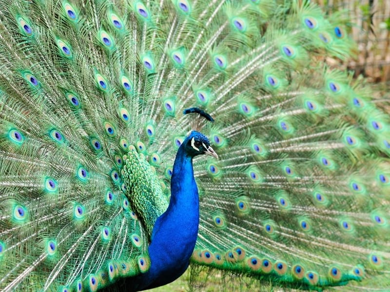 can peacocks fly