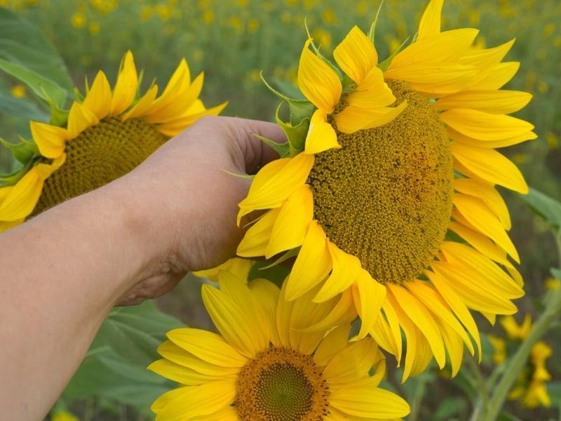 choosing sunflower seeds