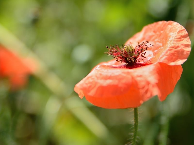 different types of poppies
