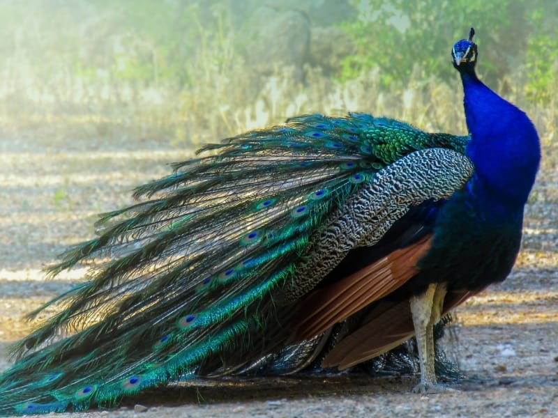 how much does a peacock cost