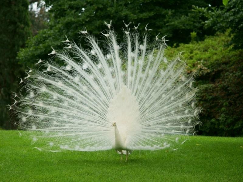 how rare is an albino peacock
