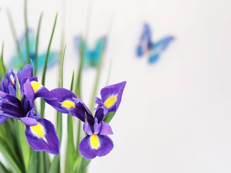 how to divide and replant iris