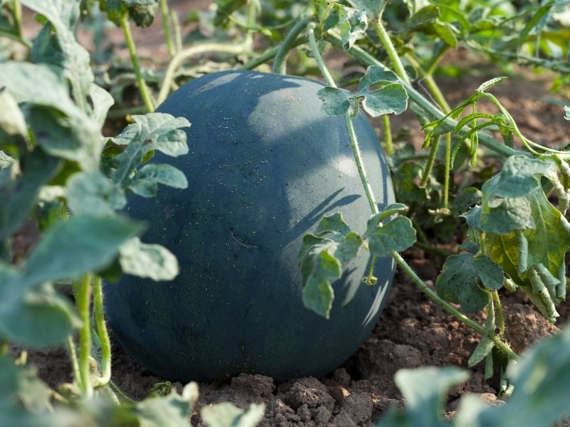 how to harvest sugar baby watermelon