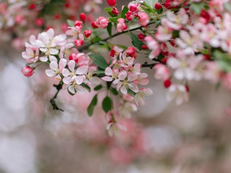 how to prune crabapple trees