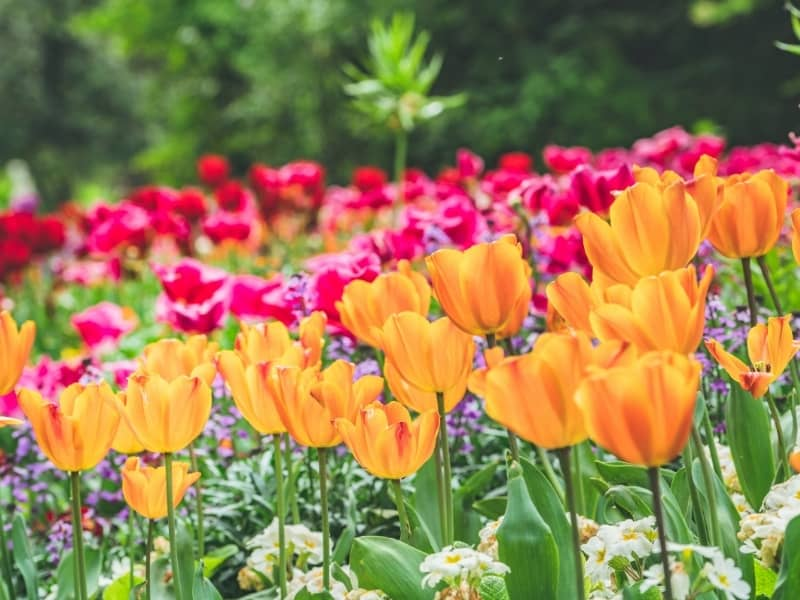 popular colors of tulips