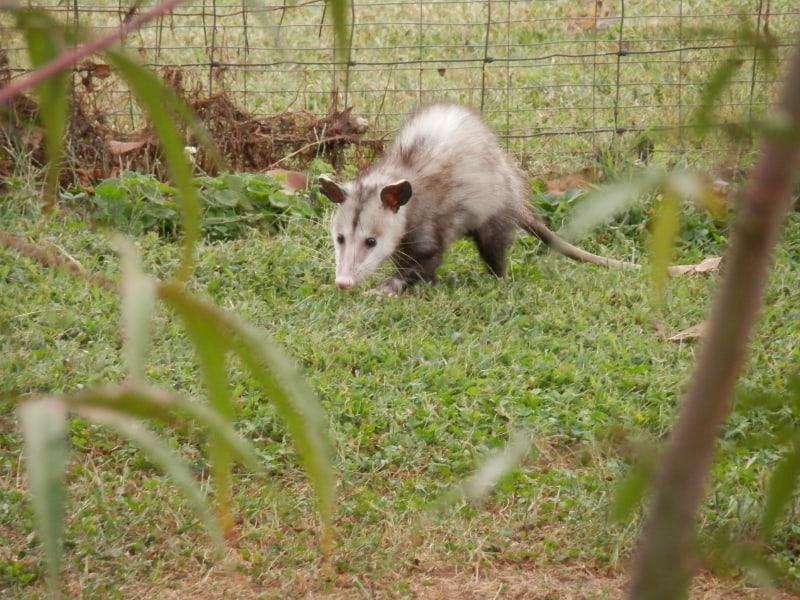 possum-vs-opossum
