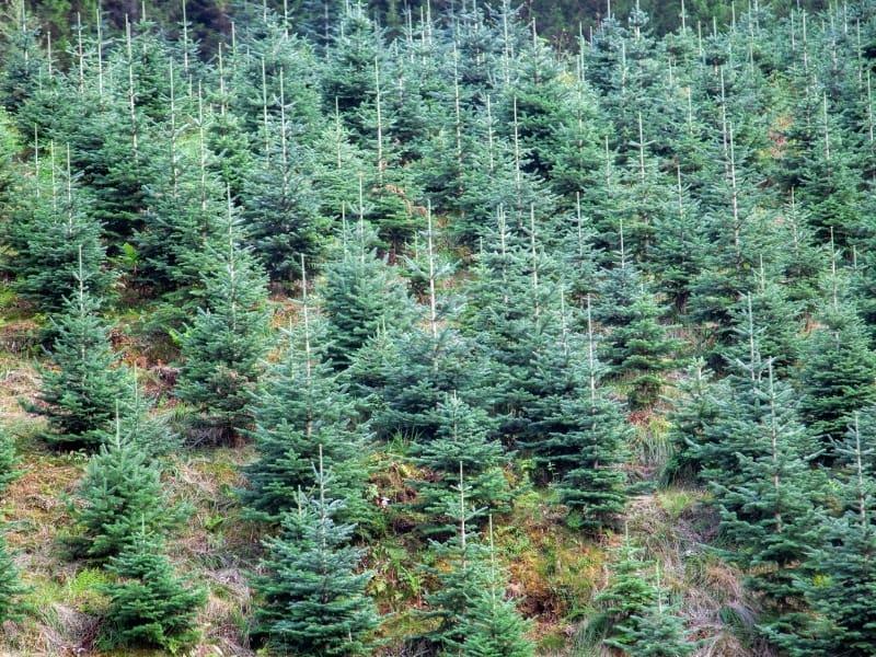 types of christmas tree