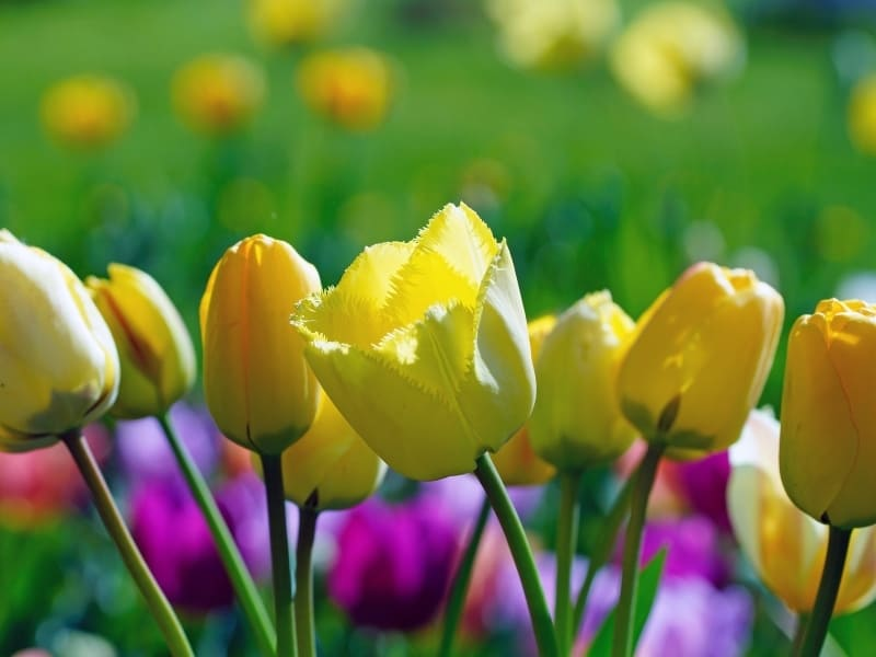 what color are tulips