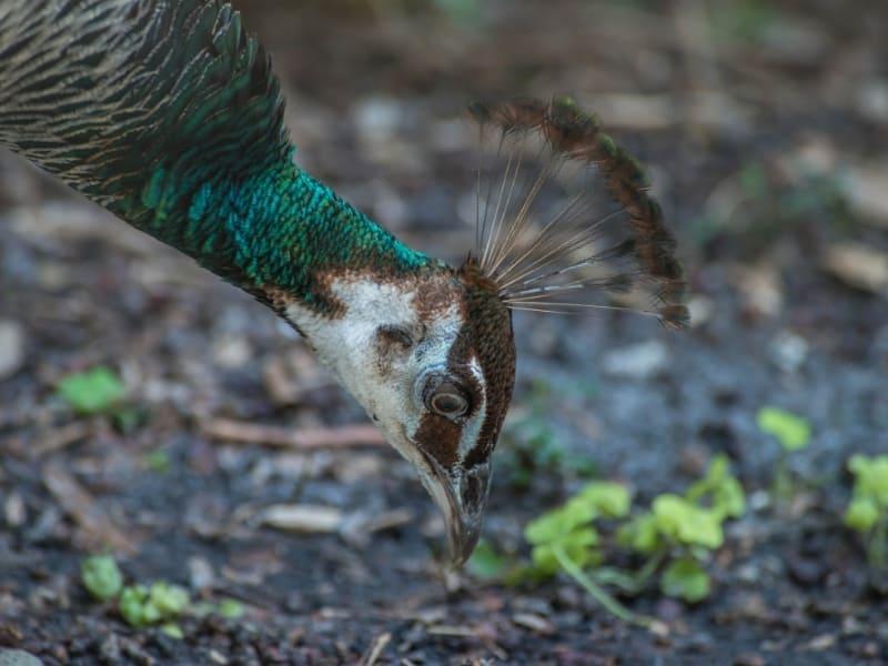 what peacocks eat