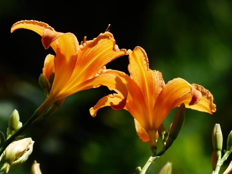 when to divide daylilies