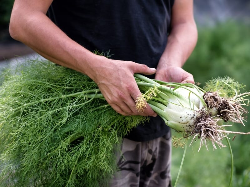 when to harvest fennel