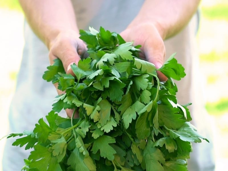 when to harvest parsley