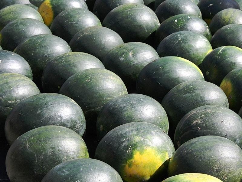 when to harvest sugar baby watermelon