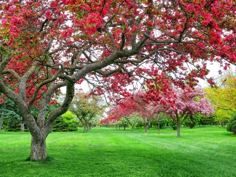when to prune crabapple trees
