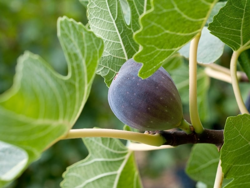 when to prune fig trees