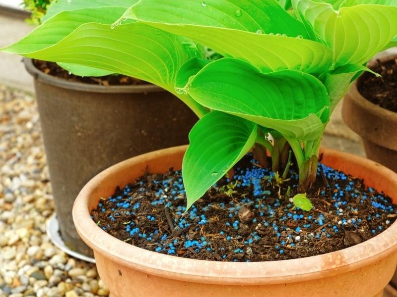 where to plant hostas