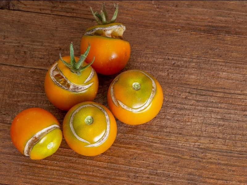 why do tomatoes split