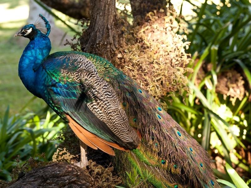 are peacocks endangered