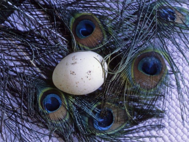 do peacocks lay eggs