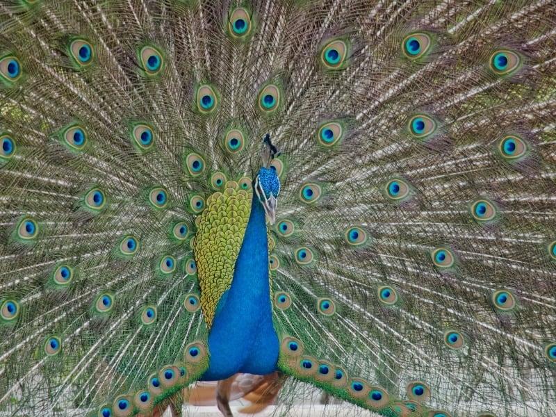 indian peacock characteristics