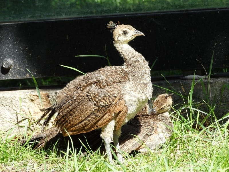 peacock chicks caring and nurturing
