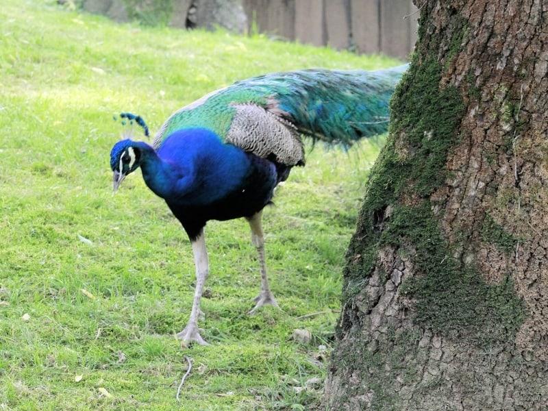 peacock nomenclature