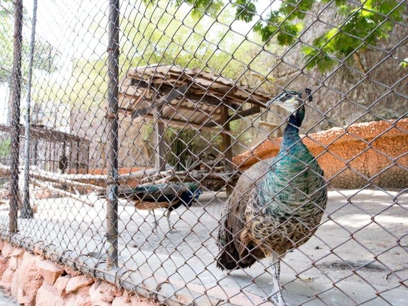 raising peacocks