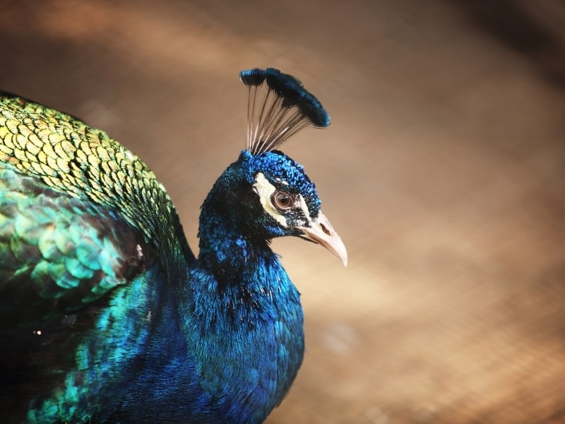 what sound does peacock make