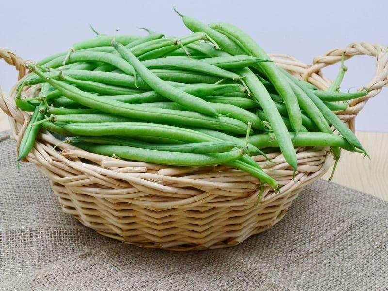when to harvest bush beans